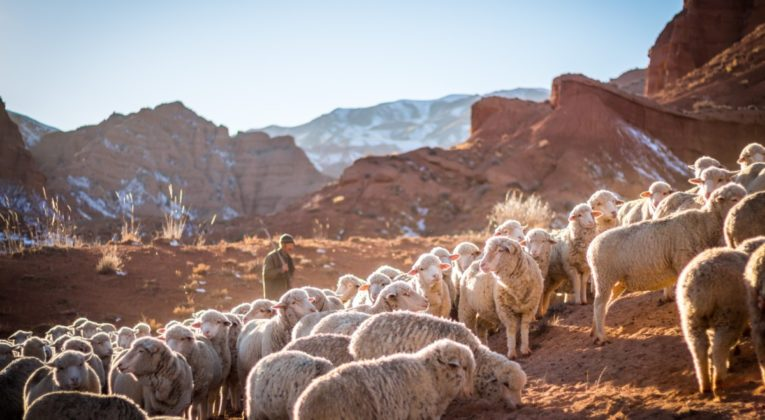 Een kudde schapen in Tschüi in Kyrgistan (Bron: Unsplash / Patrick Schneider)
